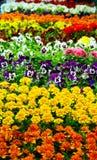Goudsbloem & viooltje Royalty-vrije Stock Fotografie