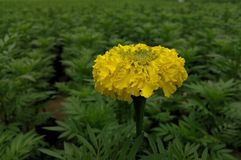 Goudsbloem YellowFlower Stock Afbeelding