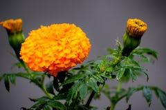 Goudsbloembloem; Aardelach in bloemen stock afbeelding