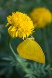 Goudsbloembloem met gele vlinder Stock Afbeeldingen