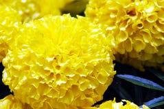 Goudsbloembloemen die onder heldere zon bloeien Stock Afbeelding