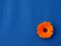 Goudsbloembloemen op blauwe materiële achtergrond Royalty-vrije Stock Foto
