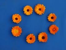 Goudsbloembloemen op blauwe materiële achtergrond Royalty-vrije Stock Fotografie