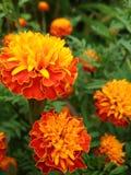Goudsbloemen 2 royalty-vrije stock afbeelding