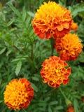 Goudsbloemen 5 royalty-vrije stock afbeeldingen