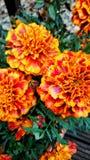 goudsbloemen Royalty-vrije Stock Fotografie