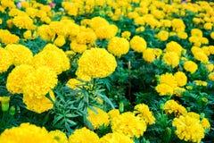 Goudsbloemen in de tuin Royalty-vrije Stock Afbeelding