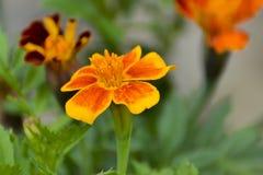 Goudsbloemen die in zomerzonneschijn bloeien stock foto's