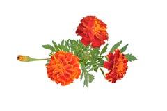 Goudsbloemen met knoppen en bladeren (Latijnse naam: Tagetes) Stock Fotografie
