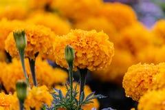 Goudsbloemen (Tagetes-erecta, Mexicaanse goudsbloem, Azteekse goudsbloem, Afr Stock Foto