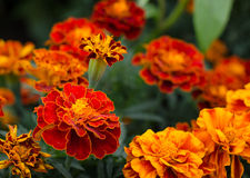Goudsbloemen (Tagetes-erecta, Mexicaanse goudsbloem, Azteekse goudsbloem, Afrikaanse goudsbloem) Stock Fotografie