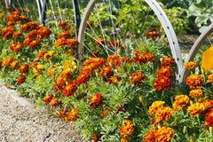 Goudsbloemen in volledige bloem in de zomer royalty-vrije stock foto