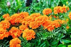 Goudsbloemenbloemen Stock Foto
