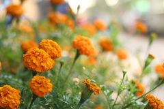Goudsbloemenbloemen in de tuin close-up van goudsbloemen Stock Foto