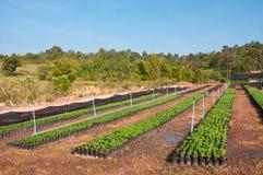 Goudsbloemjonge plant Stock Fotografie