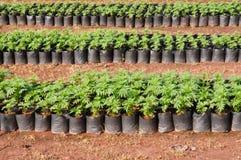 Goudsbloemjonge plant Stock Afbeeldingen