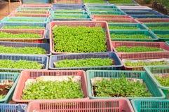 Goudsbloemjonge plant Royalty-vrije Stock Fotografie