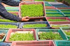 Goudsbloemjonge plant Stock Afbeelding