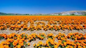 Goudsbloemlandbouwbedrijf in Californië Stock Afbeelding