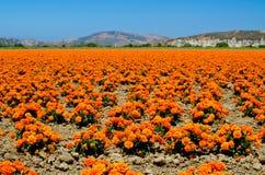 Goudsbloemlandbouwbedrijf in Californië Royalty-vrije Stock Afbeeldingen