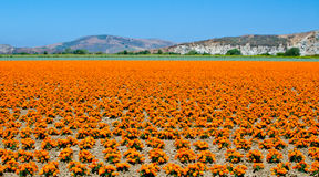 Goudsbloemlandbouwbedrijf in Californië Stock Foto