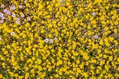 Goudvelden die op een weide, een paar giliawildflowers onder hen, Californië bloeien; mening van hierboven royalty-vrije stock afbeelding