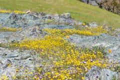Goudvelden die op kronkelige grond, Californië bloeien royalty-vrije stock fotografie