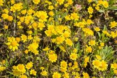 Goudvelden die op weiden, mening hierboven bloeien van, Californië royalty-vrije stock foto's