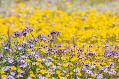 Goudvelden en Gilia-wildflowers die op een weide, Californië bloeien stock afbeelding