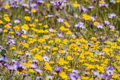 Goudvelden en Gilia-wildflowers die op een weide, Californië bloeien royalty-vrije stock afbeeldingen