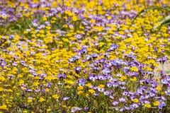 Goudvelden en Gilia-wildflowers die op een weide, Henry W bloeien Het Park van de Coestaat, Californië stock foto