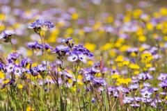 Goudvelden en Gilia-wildflowers die op een weide, Henry W bloeien Het Park van de Coestaat, Californië royalty-vrije stock afbeelding