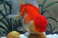 goudvis Royalty-vrije Stock Fotografie