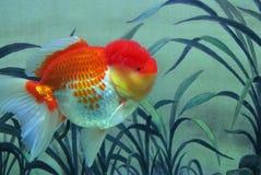 goudvis royalty-vrije stock foto