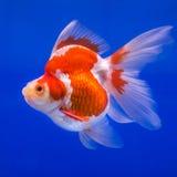 Goudvis in aquarium Stock Afbeelding