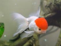 Goudvis in aquarium Stock Foto's