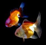 Goudvis in aquarium De vissen en het water zijn verzadigen kleur met dis Stock Afbeeldingen