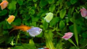 Goudvis, aquarium, een vis op de achtergrond van aquatische installaties stock footage