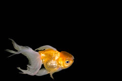 Goudvis, Carassius-auratusauratus - gouden vissen - aquariumvissen op zwarte achtergrond Royalty-vrije Stock Fotografie