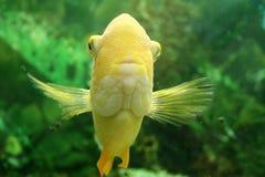 Goudvis in de Tank van Vissen Stock Afbeelding