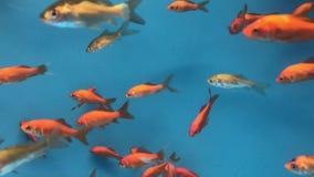 Goudvis die in Aquarium zwemmen stock footage