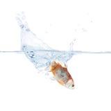 Goudvis die zich in het water werpt Stock Afbeelding