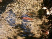 Goudvis in een vijver in Parco Aymerich in Laconi, Sardinige, Italië Stock Foto's