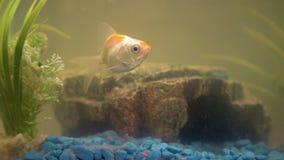 Goudvis in het aquarium thuis Aquariumvijler, rots en installaties op de achtergrond