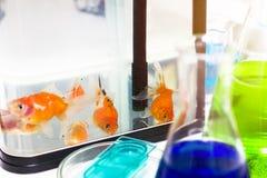 Goudvis in tank dichtbij reageerbuis in aquariumonderzoek stock afbeelding