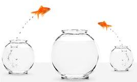 Goudvis twee die aan grotere fishbowl springt Stock Afbeeldingen