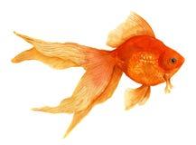 Goudvis Waterverf artistieke realistische illustratie stock afbeeldingen