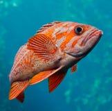 Goujon de mer Photographie stock libre de droits