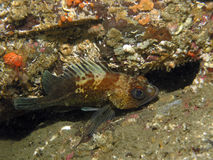 Goujon de mer de Quillback (maliger de Sebastes) Photo libre de droits