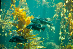 Goujon de mer noir Images libres de droits
